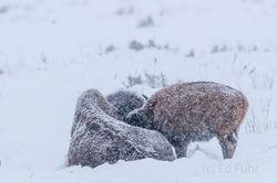 bison, calf, nursing, snow, winter, 2016, grand teton, photograph