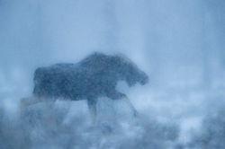 moose, snow, winter, abstract, 2016, grand teton, photograph