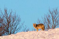 wolf, winter, 2016, grand teton, photograph