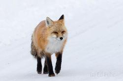 Red Fox Saunter