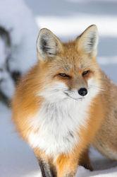 Red Fox Pose