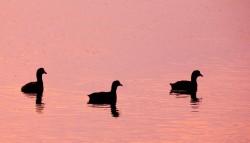 coots, egret pond, kiawah