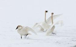 Tundra Dance II