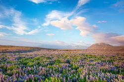 Iceland, glacier, iceberg, landscape, lupine, jokull, foss, icelandic horse, black sand,