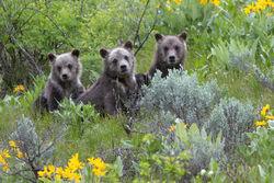 399 cub, grizzly, 399, 610, subadult, grizzlies, cub, quad, summer, grand teton, , Tetons