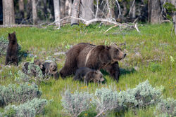 399 and cubs, grizzly, 399, 610, subadult, grizzlies, cub, quad, summer, grand teton, , Tetons