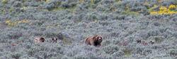 grizzly, 399, 610, subadult, grizzlies, cub, quad, summer, grand teton, , Tetons