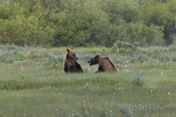 610 cub, grizzly, 399, 610, subadult, grizzlies, cub, quad, summer, grand teton, , Tetons