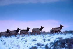Elk on the Move