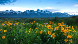 wildflowers; tetons, spring