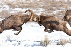 Butting Rams