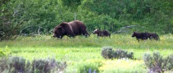 grizzly, bear, cub, meadow
