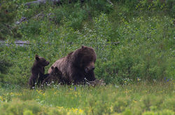 399, grizzly, bear, cubs, nursing, tetons