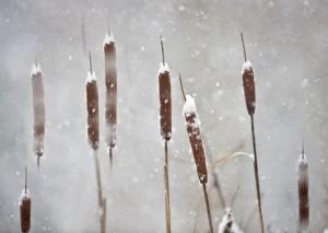 Cattail Snow