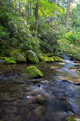 Rhododendrons and Stream