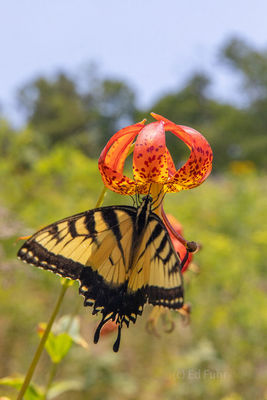 Butterfly on Turks Cap