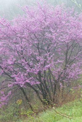 Redwood Bloom