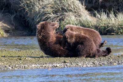 brown bear, salmon, lake clark, alaska