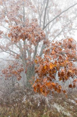 Oak and Ice