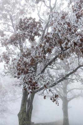 Ice Oak Sculpture