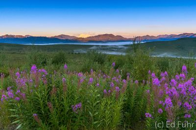 Fireweed at Sunrise