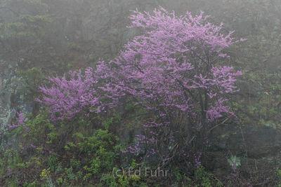 Redbuds in the Fog