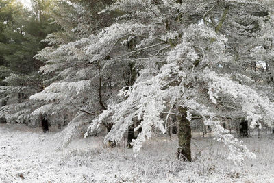 Pines Under Snow