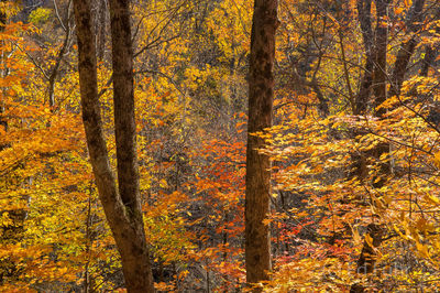 Autumn Understory, Great Smoky Mountains