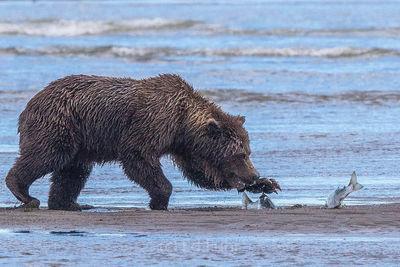 brown bear, salmon, lake clark, alaska