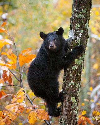 Shenandoah, Shenandoah National Park, photo, photography, images, mountains, wilderness, Virginia, wildlife, bear, fall, autumn, foliage, color
