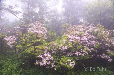 Laurels in Fog