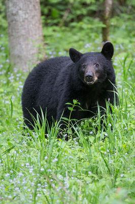Cades Cove Black Bear Sow