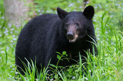 Cades Cove Black Bear Sow II