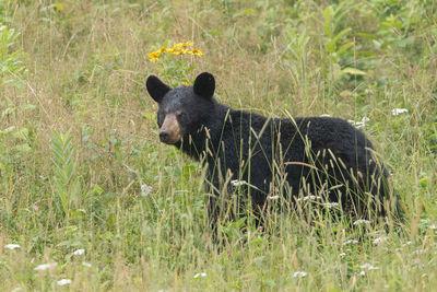Big Meadows Bear II