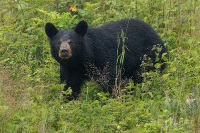 Big Meadows Bear