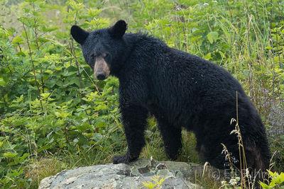 Black Bear On a Rock