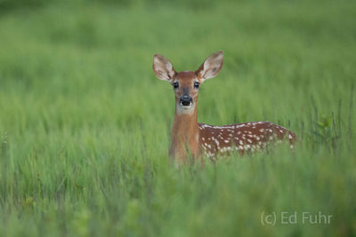 Fawn Perspective