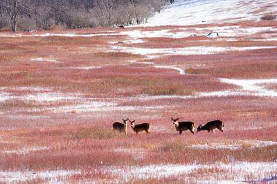 Four Deer in Big Meadows