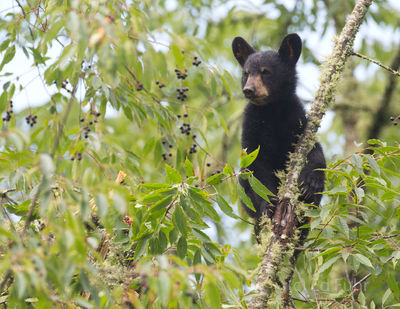Bear Cub in Cherry Tree, 2013