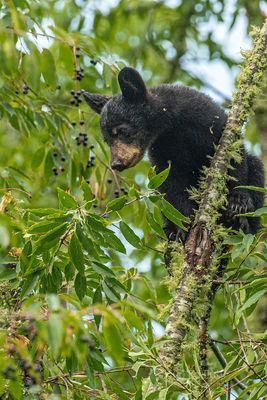 Bear Cub in Cherry Tree