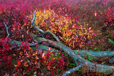 Berry Bushes in the Meadow