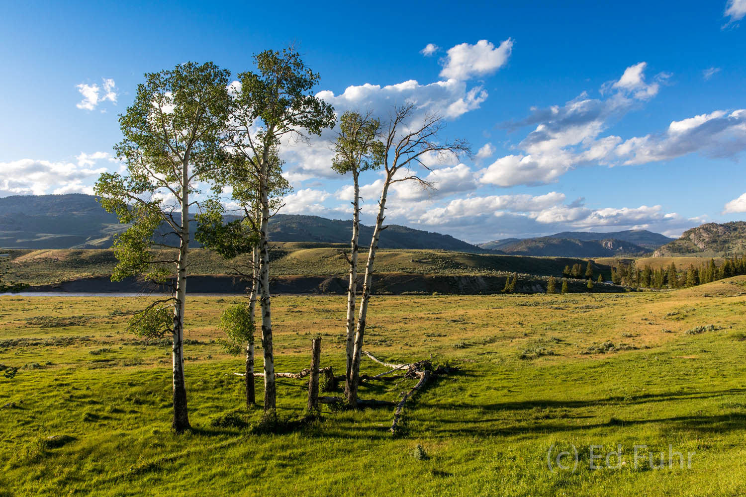 A small grove of aspen stands near the entrance of Lamar Valley.