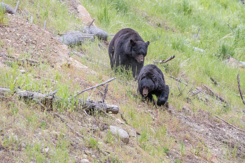 A large boar pursues love.
