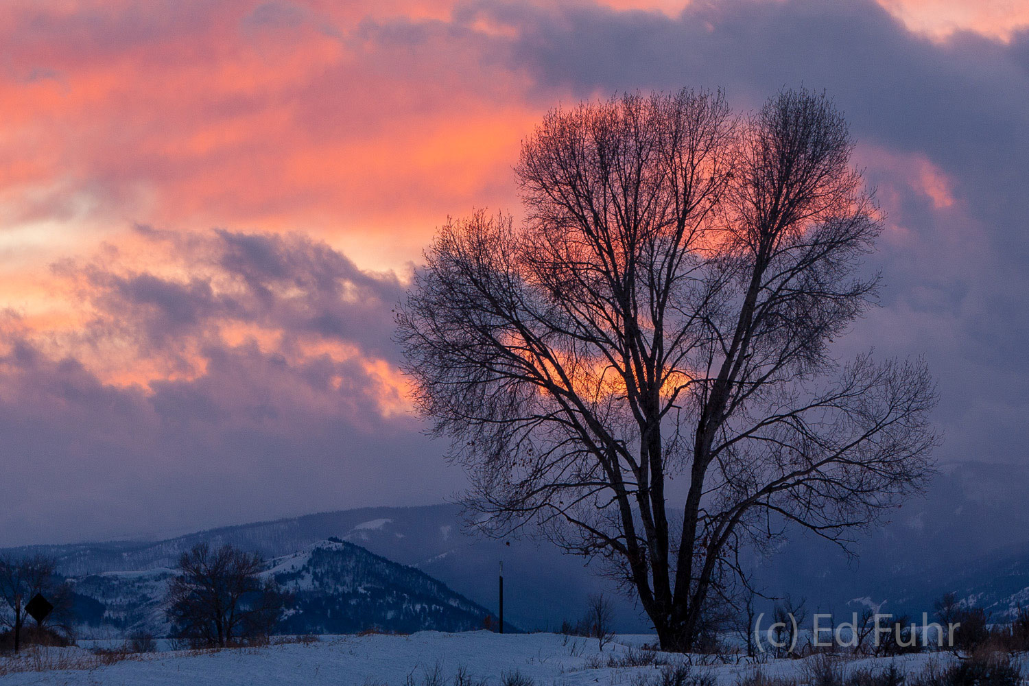A great oak is silhouetted by the Gros Ventre against a winter sunet.