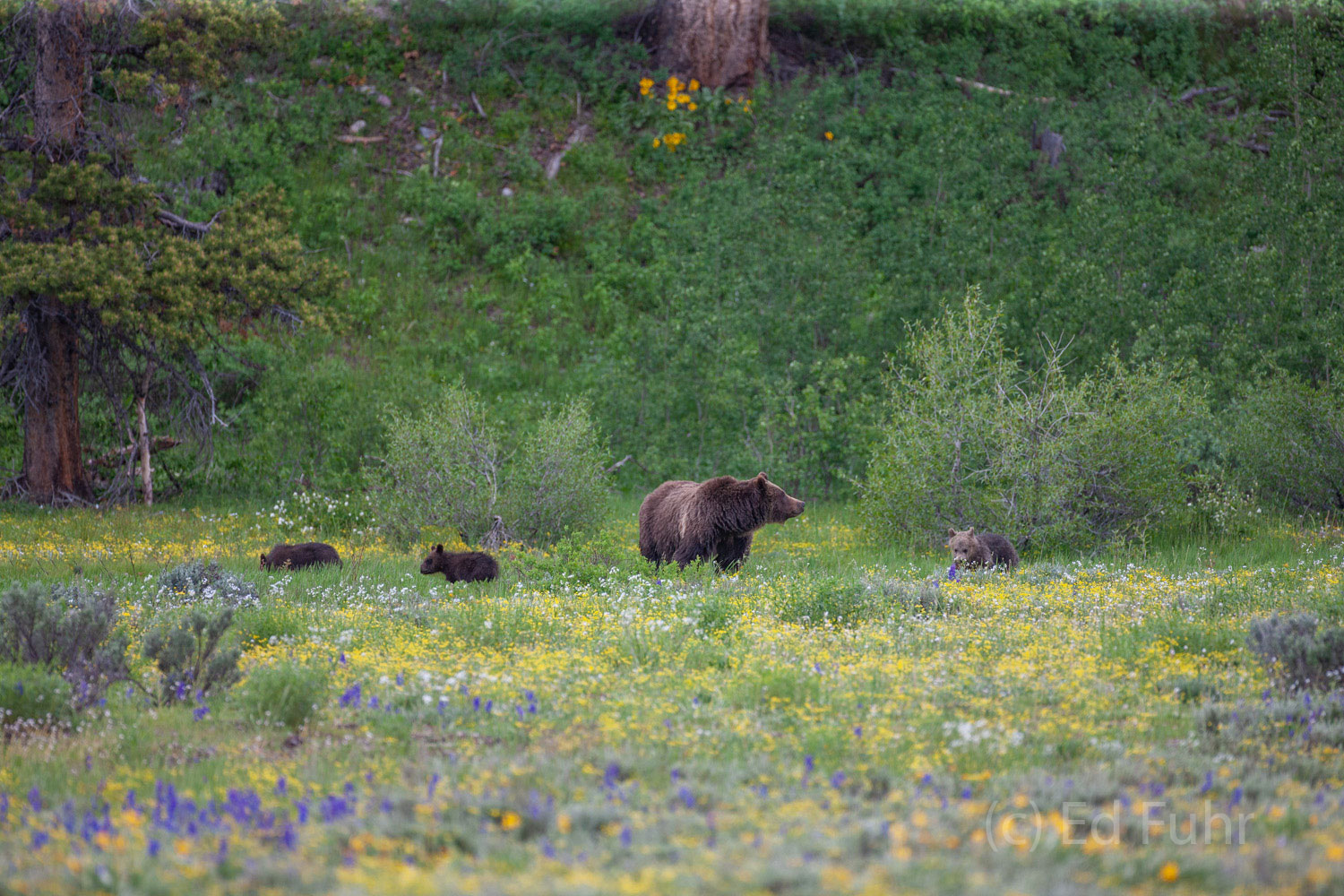Girzzly 399 and her three cubs forage in a meadow of bitterroot and lupines.