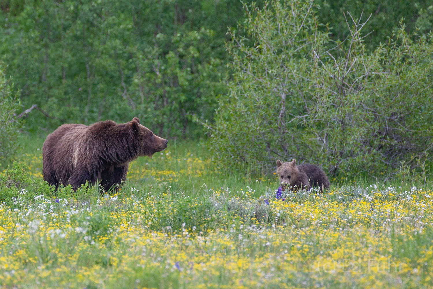 Grizzly 399, the grand matriarch of the Grand Tetons, remains on high alert as one of her three cubs checks out the meadow's...