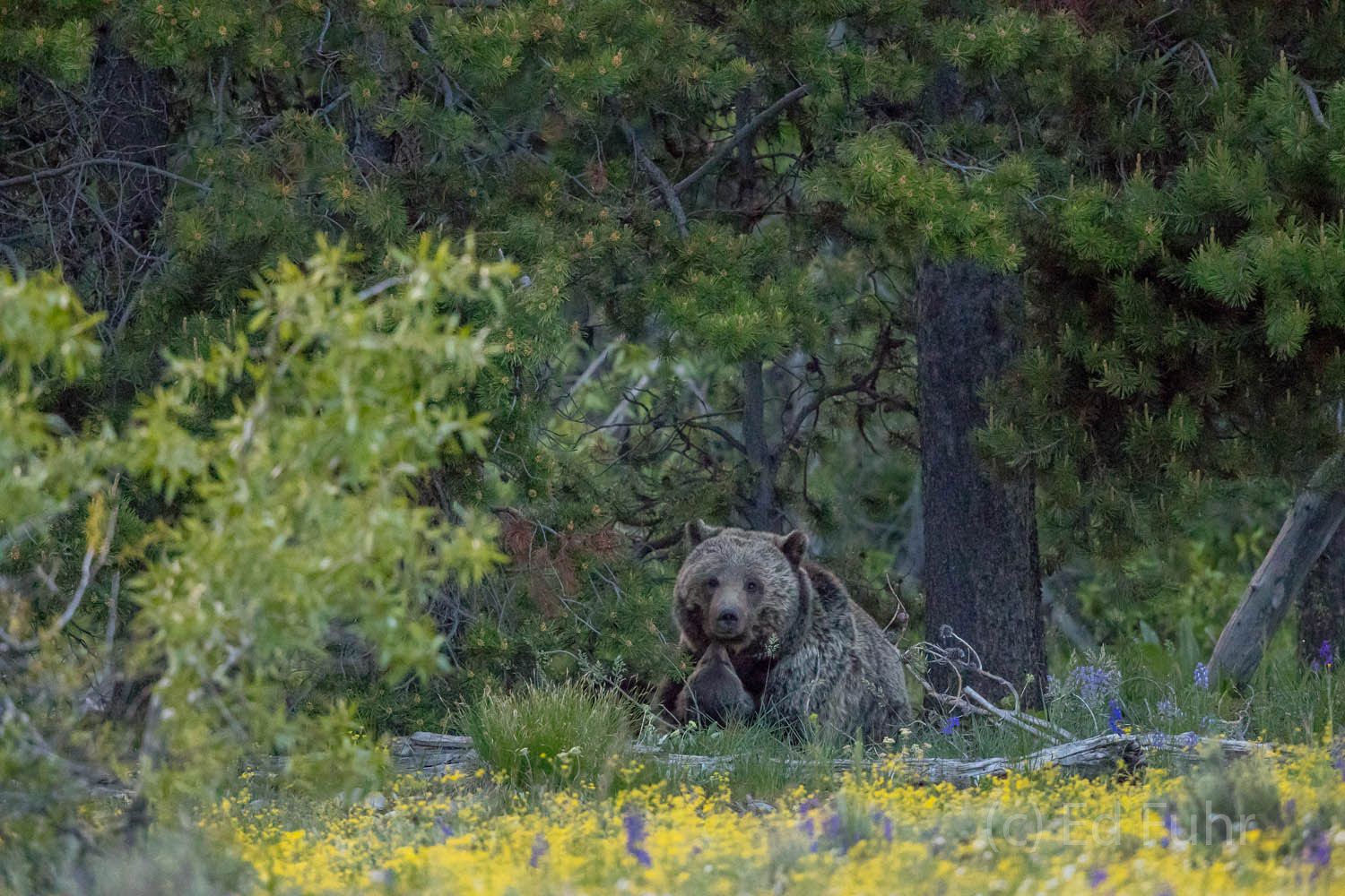 Grizzly bear, Blondie, retreats with her cubs to the woodland edge where she will spend much of the day, nursing, napping and...
