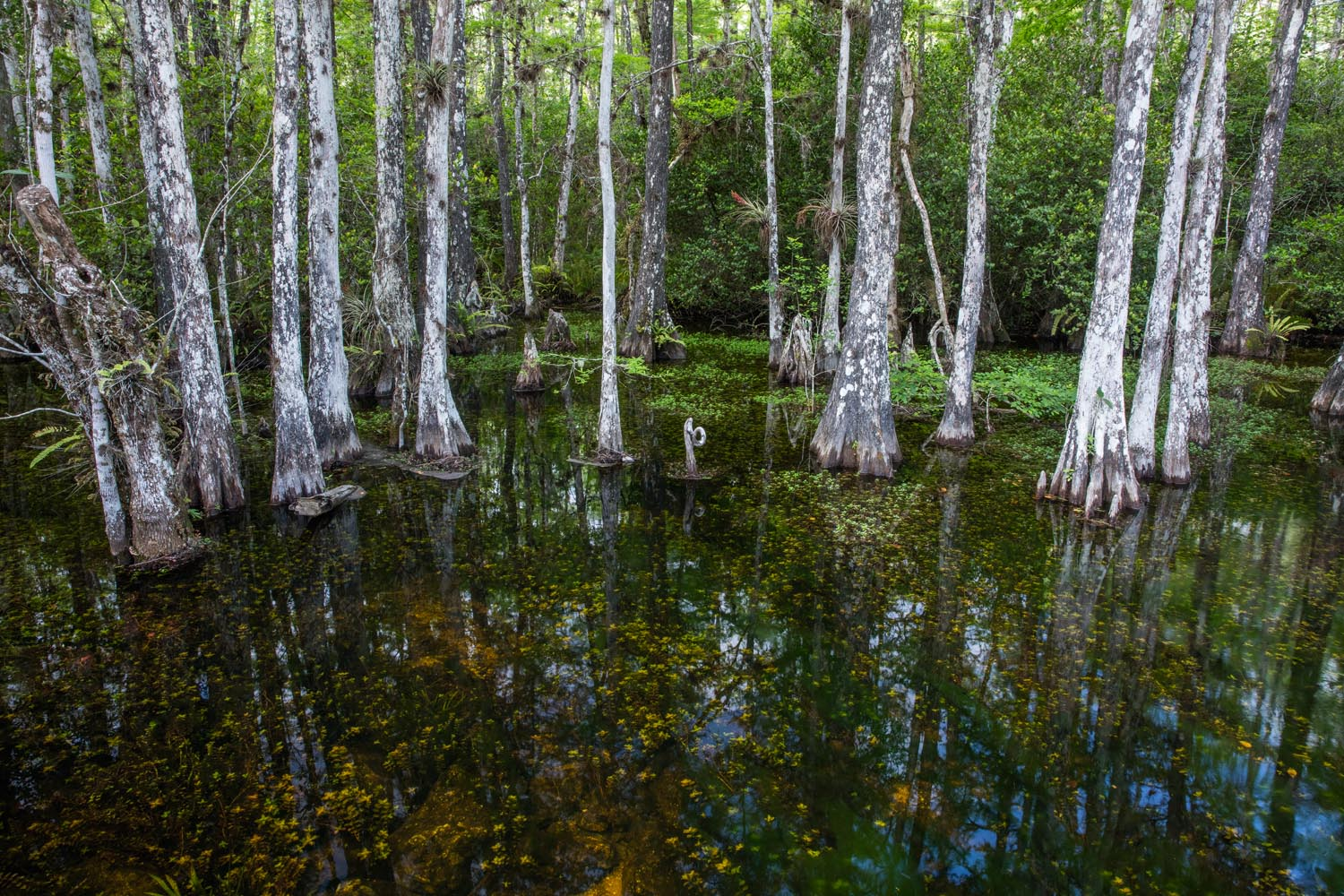 big cypress swamp, everglades, florida, fine art, , photo