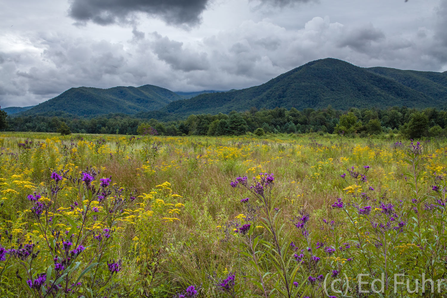 wildflowers, cades cove, photo