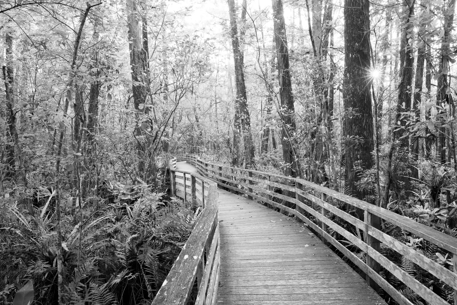 big cypress swamp, corkscrew swamp, florida, everglades, black and white, , photo
